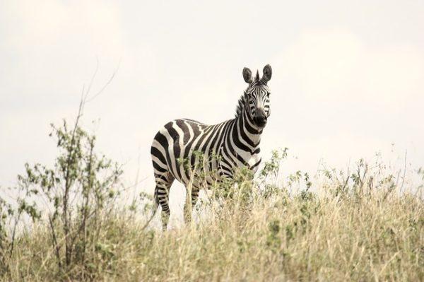 Wat je over stress leert van een zebra